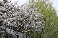 湖边的桃花