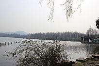湖边的迎春藤