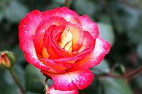 盛开的红黄混色月季花图片