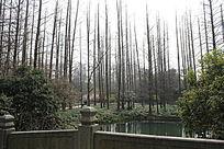 水杉林背景图