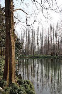 水杉林景观
