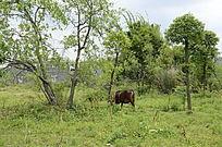 田野吃草的老牛