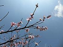 无叶樱花枝