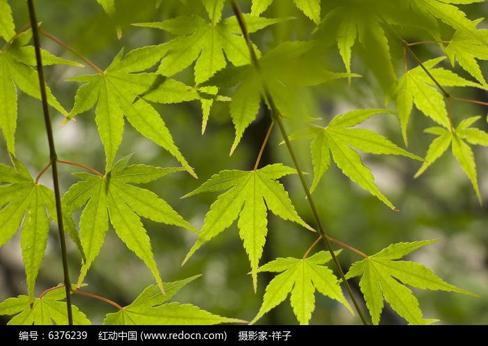 夏天的槭树叶图片,高清大图_树木枝叶素材