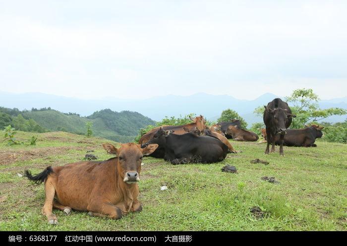 歇息的牛群