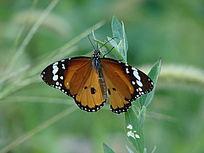 一只虎斑蝶