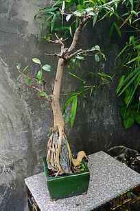 抱石头的松树