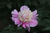 粉红色芍药花