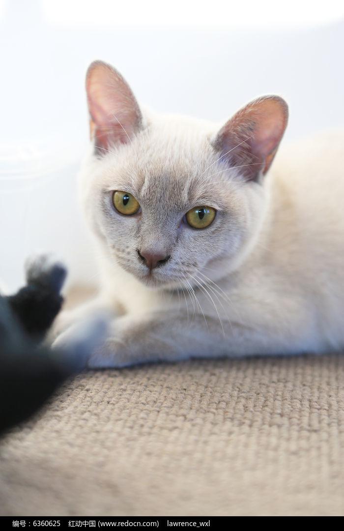 原创摄影图 动物植物 家禽家畜 猫咪发呆的样子  请您分享: 红动网