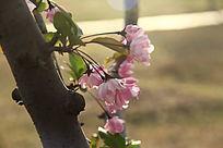 光影下的桃花