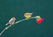 立于花枝上的一对鸟