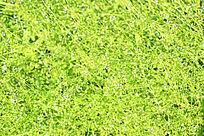 小白花草地