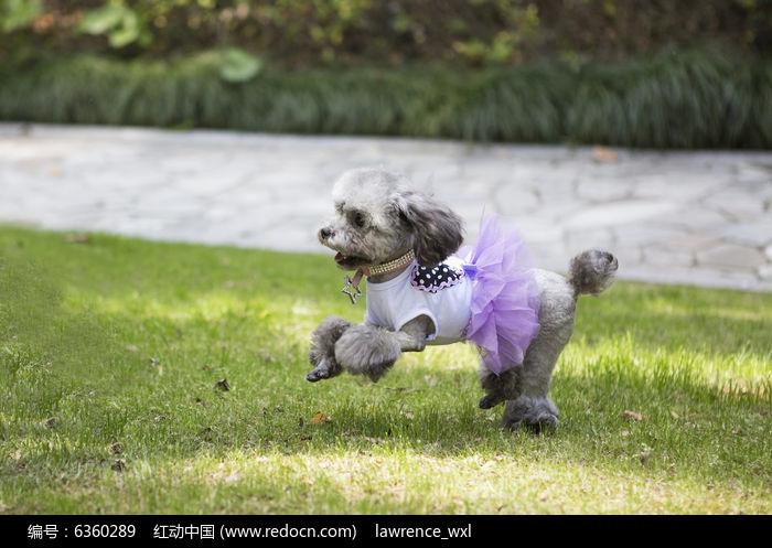 原创摄影图 动物植物 家禽家畜 奔跑的泰迪