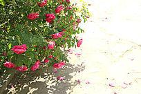很多玫瑰花