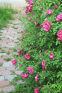 小路上的玫瑰花