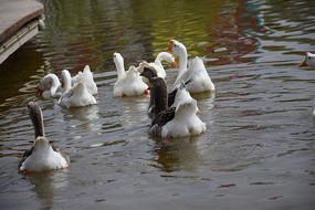 一群天鹅游泳图片
