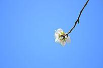 一束樱花草