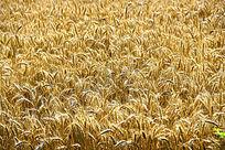 成熟小麦田