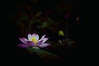黑暗中的莲花