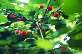 很多红果子