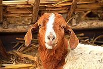 可爱的小羊