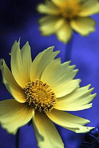 蓝色背景小黄花