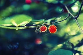 两颗诱人的红果子