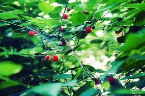 绿叶树上的红果子