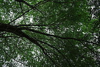 茂密的树叶