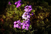 世界名花紫色美女樱