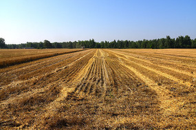 收割后的麦茬地
