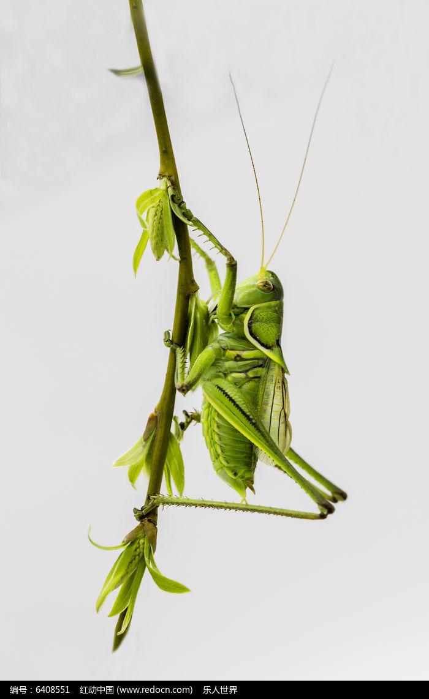 原创摄影图 动物植物 昆虫世界 树枝与蝈蝈  请您分享: 红动网提供