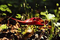阳光下的红叶