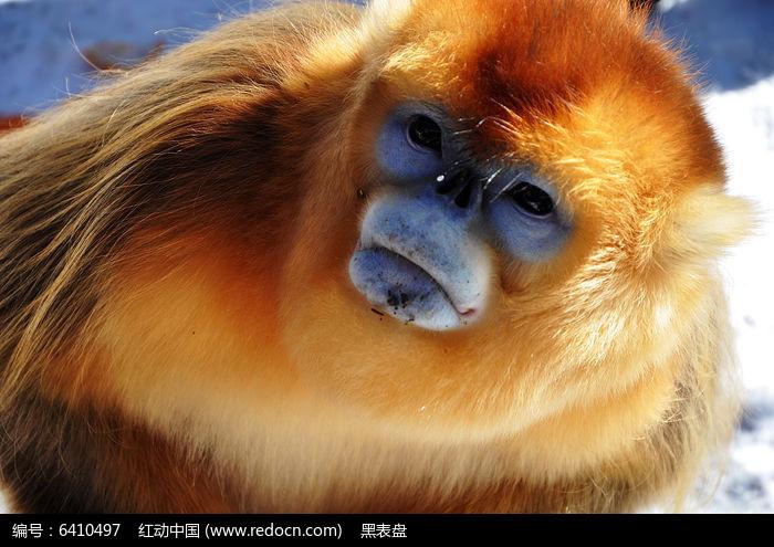 阳光下的金丝猴图片,高清大图