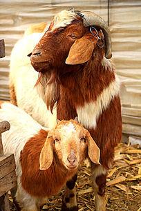 羊妈妈小羊