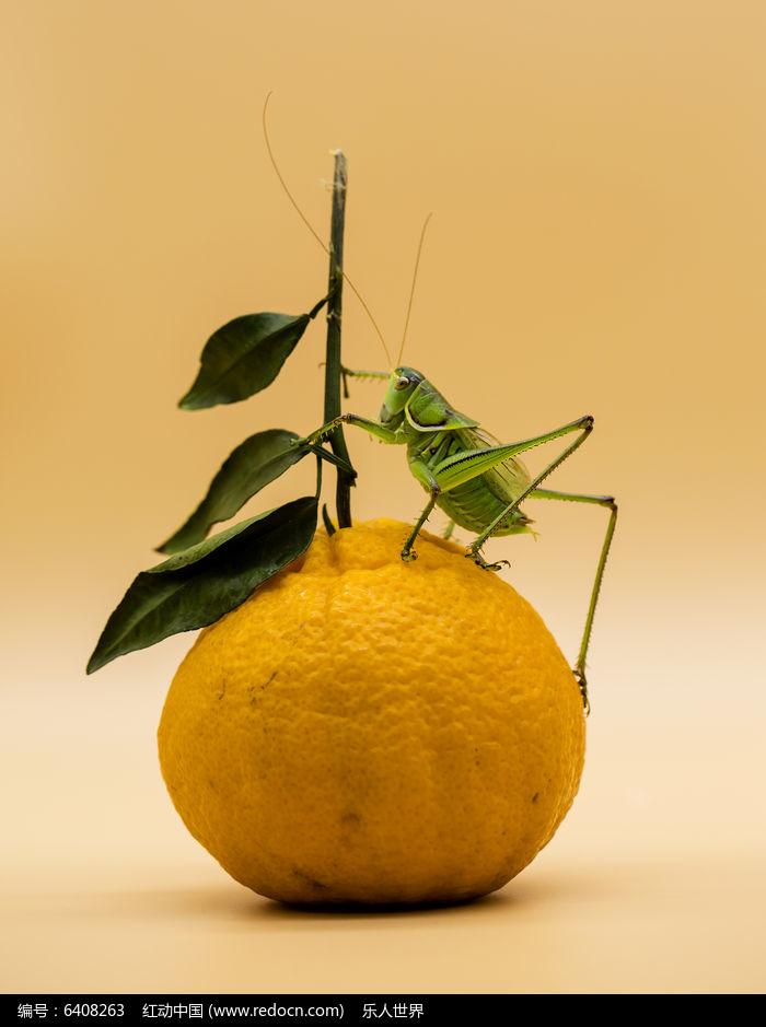 原创摄影图 动物植物 昆虫世界 蝈蝈与桔子  请您分享: 红动网提供