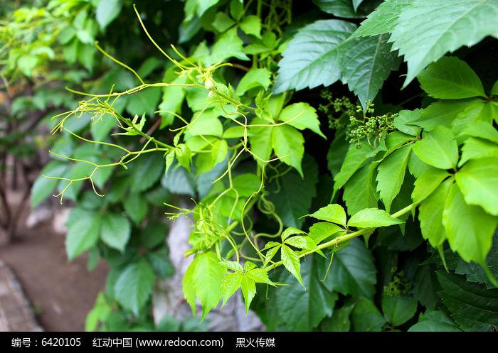 原创摄影图 动物植物 树木枝叶 攀缘在岩石上的爬山虎图片