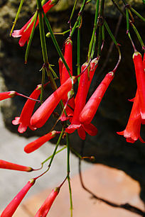 红色的小花