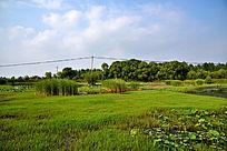 绿草地和芦苇