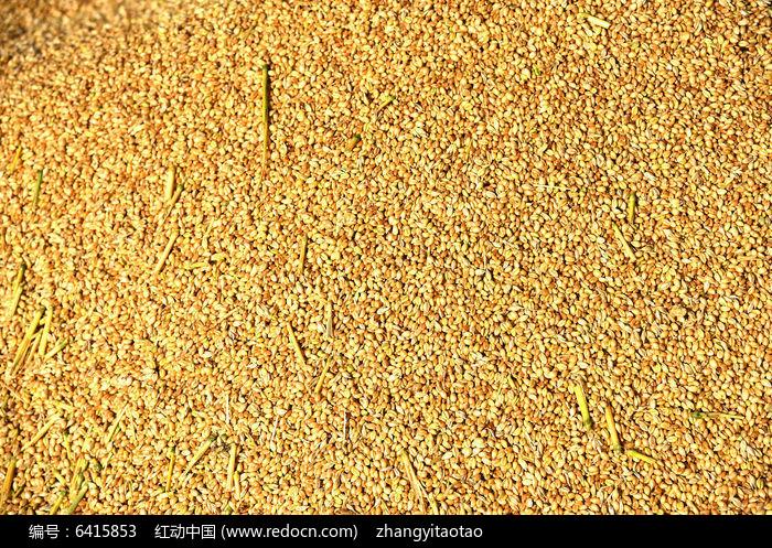 213一粒麦子歌谱