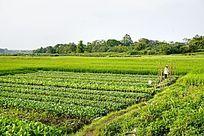 绿色菜田风光