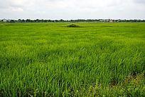 绿色水稻田野