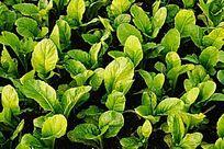 绿色无公害蔬菜