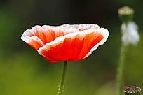 白边红芯罂粟花
