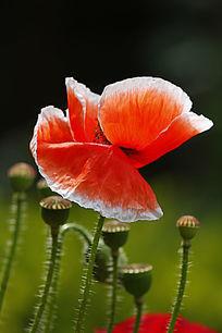 白红罂粟花