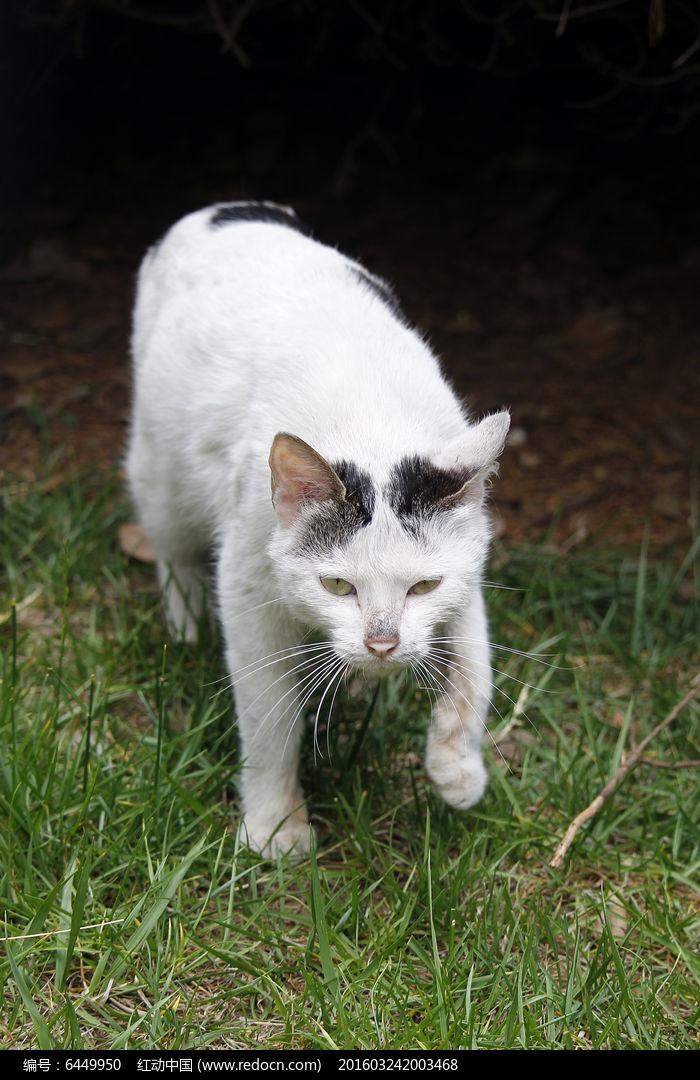 白色猫猫图片,高清大图_装饰品素材