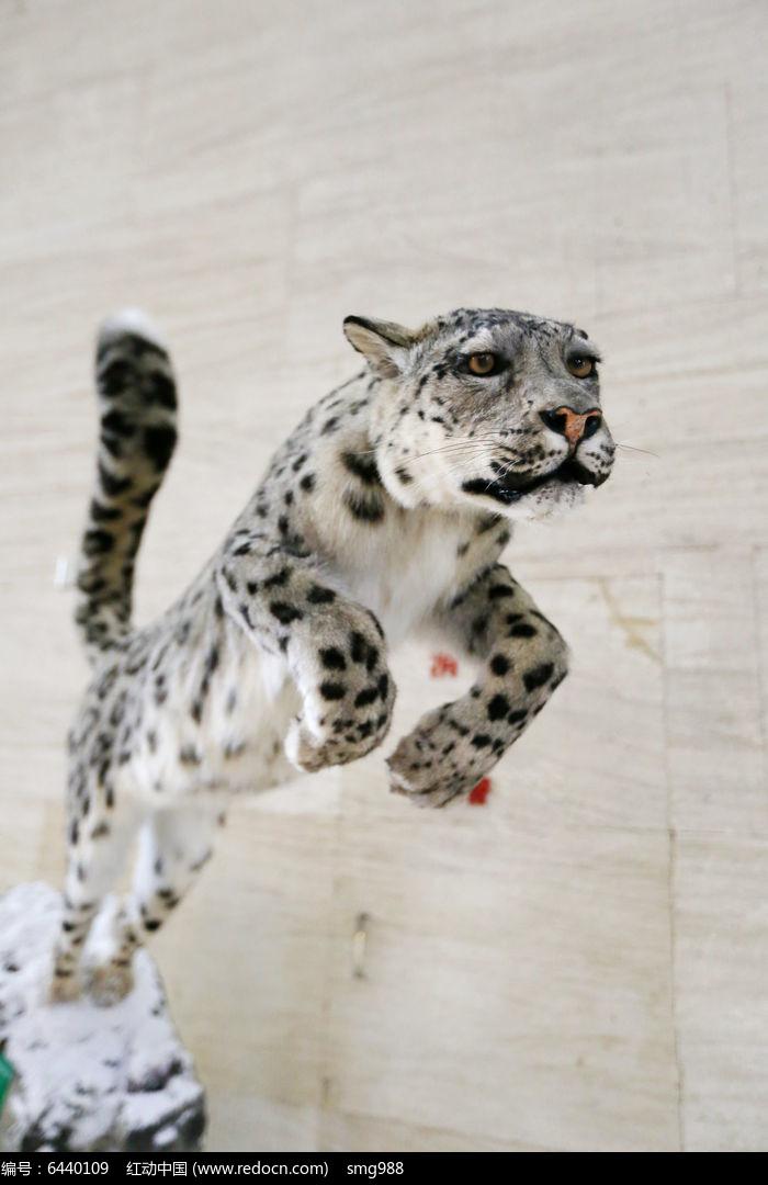 濒危动物雪豹标本图片