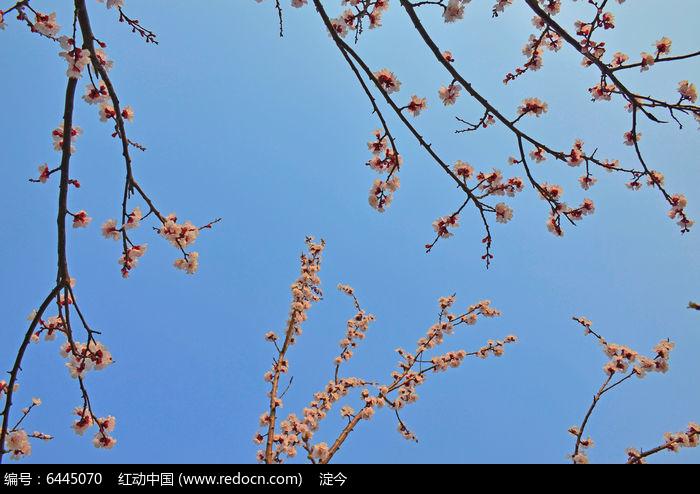 原创摄影图 动物植物 花卉花草 春天的杏树花枝  请您分享: 红动网