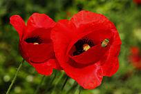 大红色鬼罂粟花