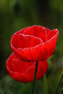 大红色罂粟花